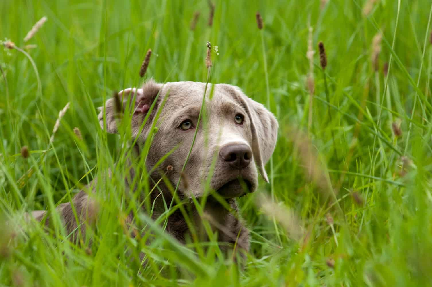 AKC Hunt Tests and Silver Labs – Easy Retriever Training
