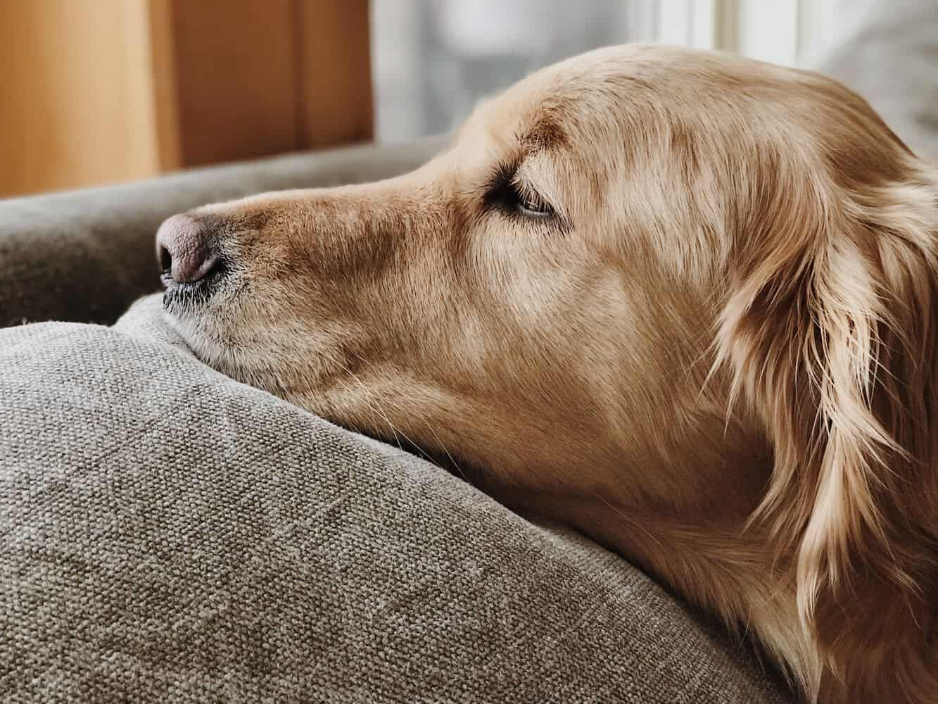 Can A Golden Retriever Be Left Alone